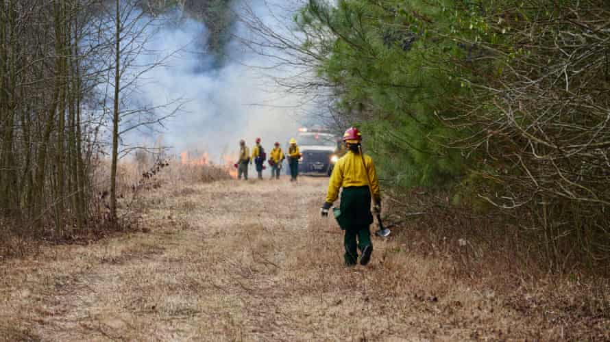 Longleaf pine requires regular burns of the surrounding area.
