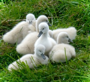 Cygnets: soft and downyin a farmland by the waterside guarded by the parents - Gerrie Stegehuis