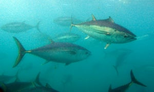 Southern Bluefin tuna. The warm waters of the east Australian current mean the Jervis Bay commonwealth reserve is rich in pelagic species, such as marlin and tuna, that are highly sought after by both game and commercial fishers
