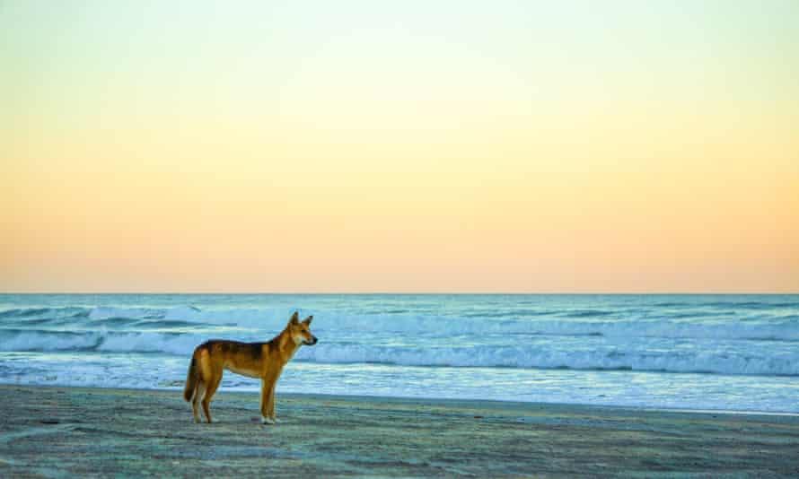 File photo of a dingo at sunset on Fraser Island/K'gari