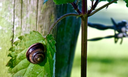 A brown-lipped snail with its distinctive 'nutty humbug' shell.