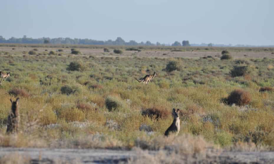 Kangaroos at Nimmie Caira near Balranald.
