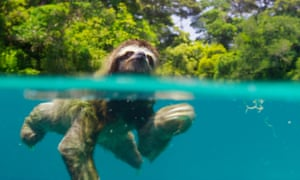 Exposing animals as never before … the pygmy three-toed sloth in Planet Earth II.