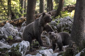 A brown bear with cub forages for food in Ljubljana, Slovenia