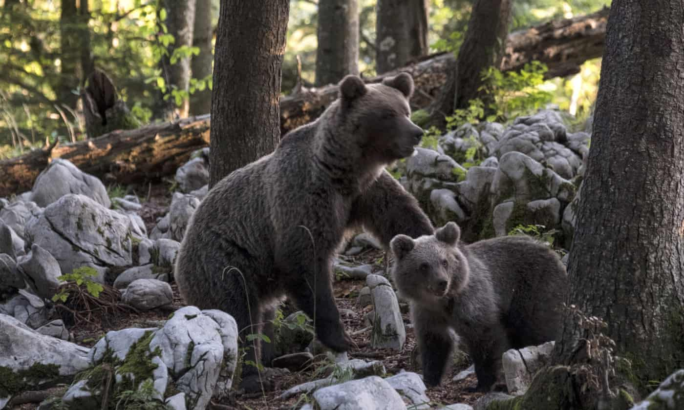 Italian forest rangers on the hunt of 'escape genius' bear