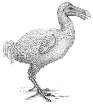 The researchers believe that differing descriptions of the dodo are not contradictory or wrong, but describe the birds at different phases of the moulting cycle.