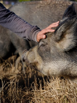 A volunteer patting one of the rescued pigs