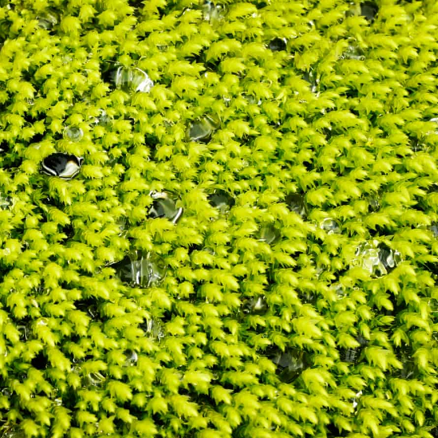Soft bright green Iceland moss, bejewelled by trapped droops of water
