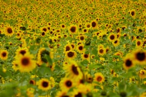 A sea of yellow sunflowers at Little Heath farm, Dunham Town, Cheshire, UK