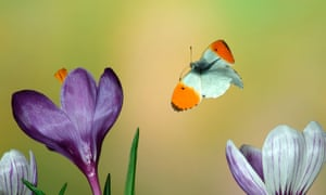 Orange tip butterfly Anthocharis cardamines: adult male in flight.