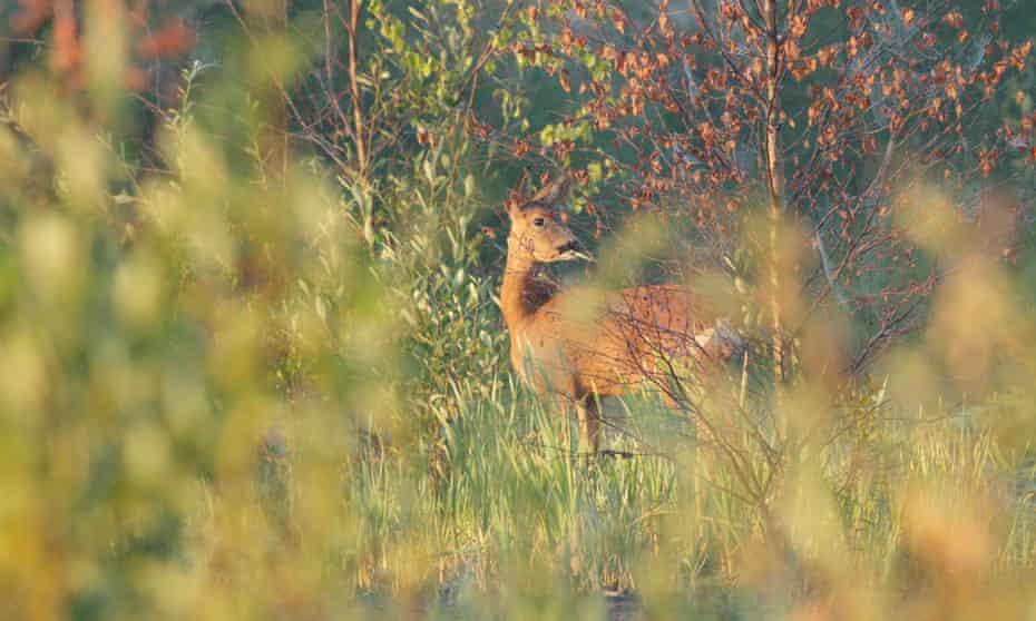 Female western roe deer (Capreolus capreolus) feeding, in West Yorkshire, England.