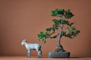 A miniature Babydoll Southdown Sheep dwarfed by a bonsai tree.