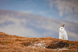 Mountain Hare Cairngorms by Sorcha Lewis