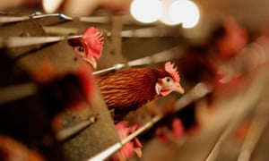 Battery hens on a UK farm. £millions have been received by industrial-style farms in the last two years.