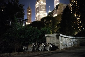 Raccoons Central Park, 2016. Hillary Swift's image of a family of raccoons in Central Park, likely emerging in search of food, highlights the precarious intersection between our cities and the natural world. Tourists often regard one raccoon looking for a handout as a charming photo opportunity but the arrival of a dozen more may leave them feeling outnumbered