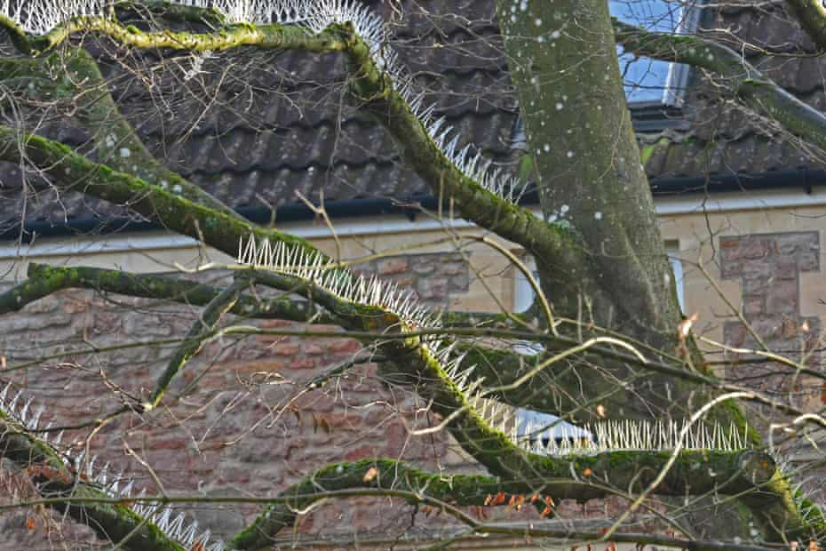 Anti-bird spikes fitted to trees to protect cars in Bristol
