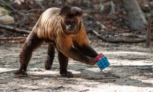 A capuchin shows it's game for anything … even a Rubik's Cube.