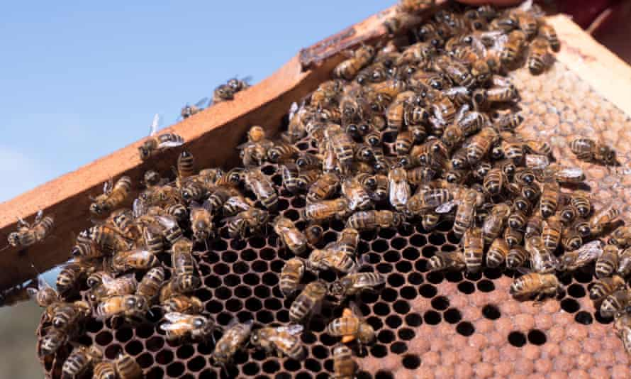 Bees on honeycomb at an apiary in New South Wales