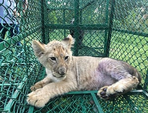 This lion cub (Panthera Leo) was seized in India by the Wildlife Crime Control Bureau and West Bengal Forest Department on its way to the UK from Bangladesh