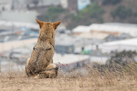 Coyotes in cities are generally shy and keep to themselves.