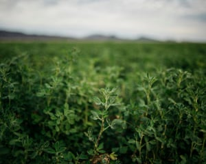 Alfalfa at Fondomonte Farms in Vicksburg, Arizona.