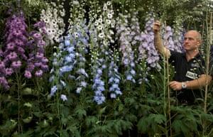 Delphiniums in bloom