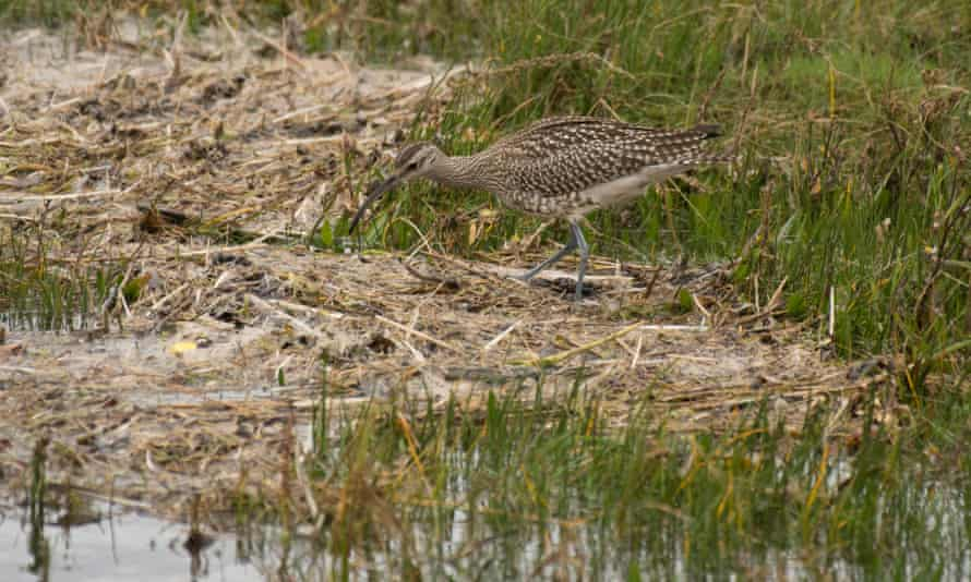 A whimbrel foraging in Morecambe Bay, Lancashire, UK.
