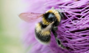 Dusted with pollen, a bumble bee feeds on a thistle.