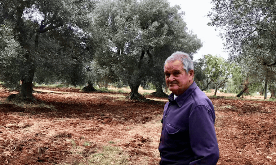 Farmer Ciccio Manelli, 81, fears for the future of his still healthy ancient olive trees.