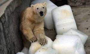 Szeriy, a polar bear at Budapest zoo, has been given blocks of ice to combat the heat