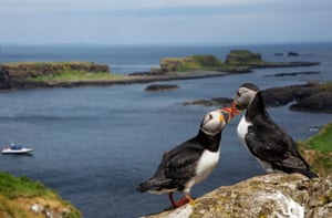 two puffins seemingly kissing