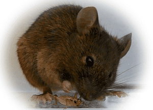 A mouse demonstrating instinctual predatory behaviour with a cricket.