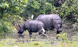 Indian one-horned rhinoceroses graze in Pobitora wildlife sanctuary.