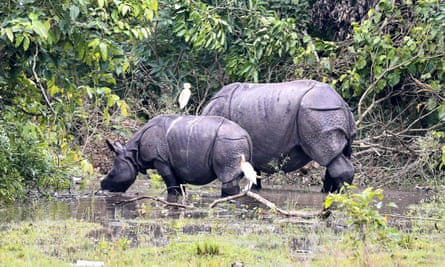 Indian one-horned rhinoceroses graze in Pobitora wildlife sanctuary in the flood affected Morigaon district in India's northeastern state of Assam on 28 June.