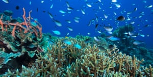 A healthy staghorn coral ecosystem, Camiguin Island in the Philippines.