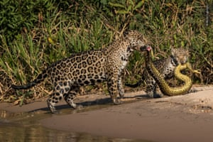 Matching Outfits by Michel Zoghzoghi (Lebanon). Jaguars hunt an anaconda