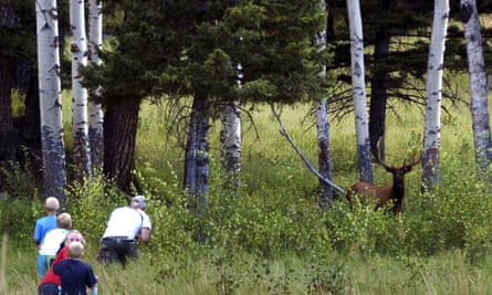 Yellowstone national park tourist John Gleason moves in on a large bull elk as four children follow.
