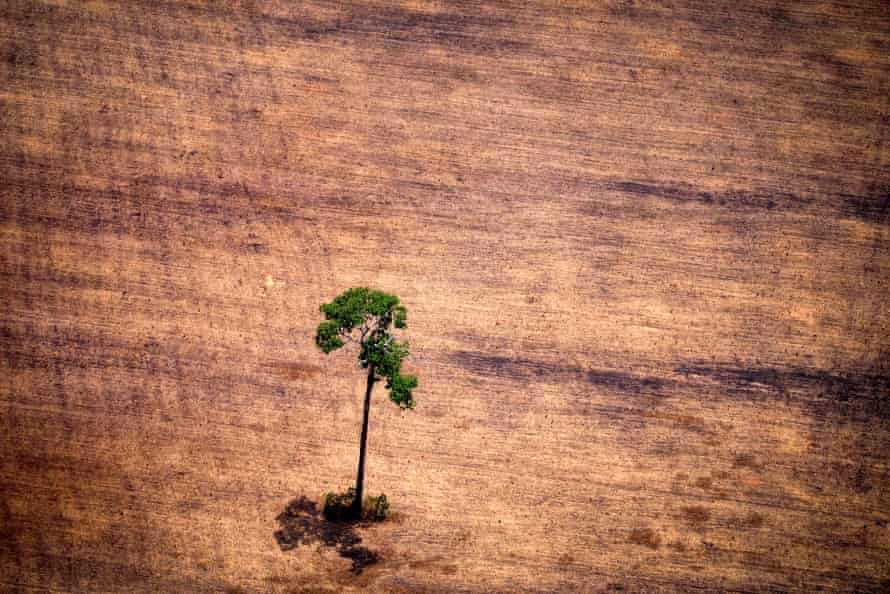 A lone tree in a deforested area in the middle of the Amazon jungle.