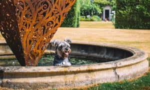 Miniature schnauzer Pepper in the fountain