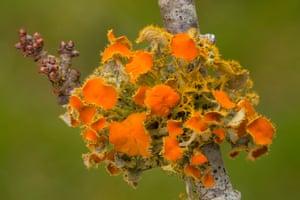 Goldeneye lichen, Teloschistes chrysophthalmus, on blackthorn twig