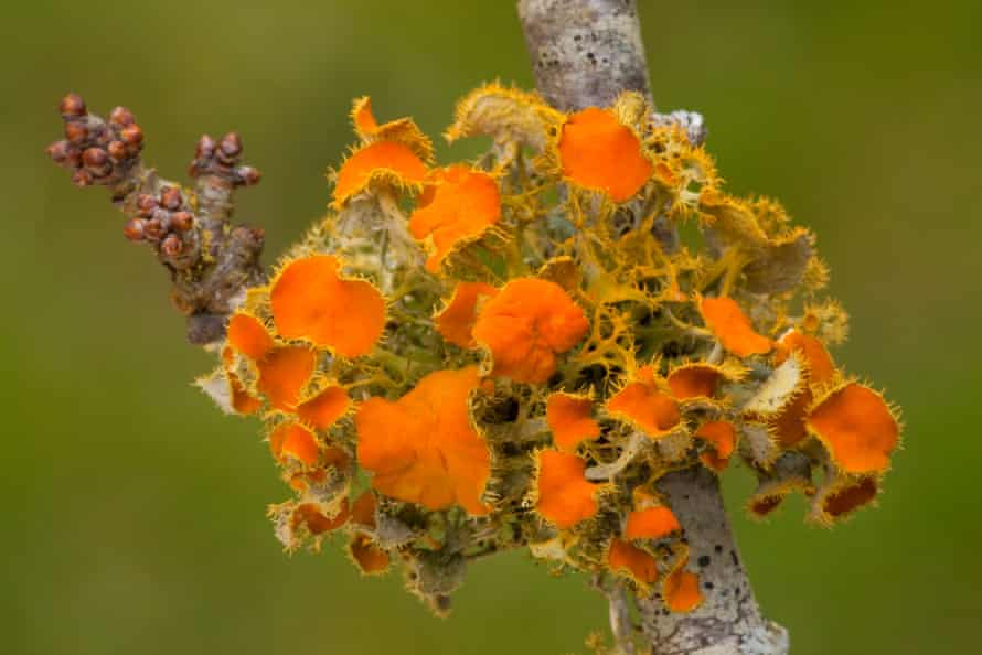 Goldeneye lichen, Teloschistes chrysophthalmus, on blackthorn twig
