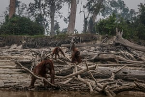 Borneo orangutans (Pongo pygmaeus) are seen on Salat Island through haze from illegal forest fires in Marang in the outskirts of Palangkaraya, Central Kalimantan, Indonesia.
