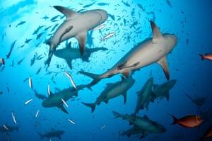 Bull sharks in the Beqa Lagoon.