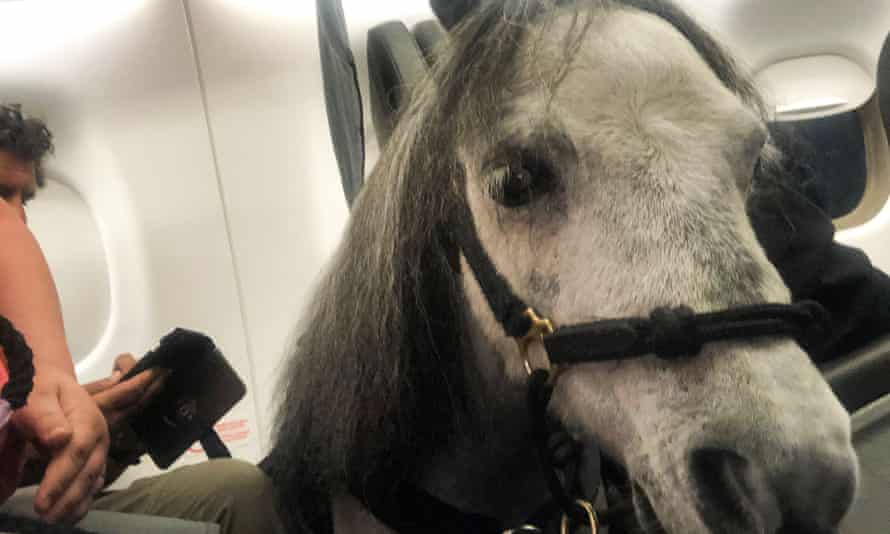 Flirty, the mini service horse, may be forbidden on passenger planes in the future. A proposal on service animals would allow only trained dogs.