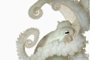 David Liittschwager: Common Octopus. Scientific Name: Octopus vulgaris. Size: 3.5in mantle length. This image was captured in Big Pine Key, Florida, 2015.