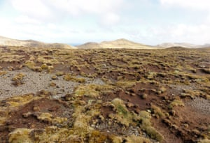 Mosses on Macquarie Island and in Antarctica are declining and becoming diseased as the climate warms. Dieback of Azorella macquariensis, Macquarie Island, Antarctica.