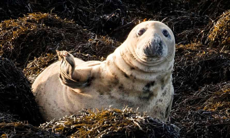 A grey seal.