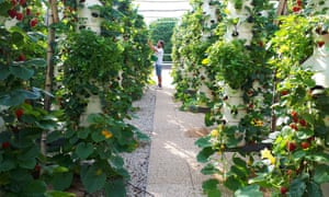 Strawberries growing at one of the other rooftop farms in Paris run by Agripolis.