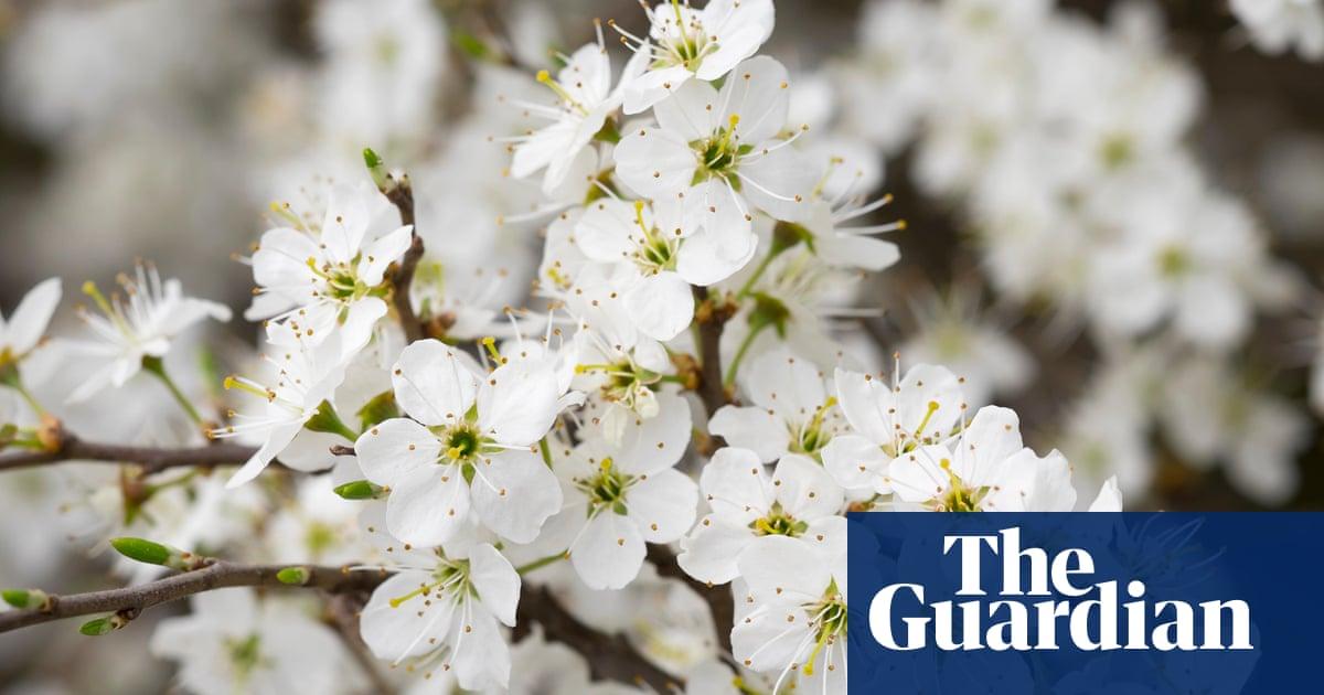 Poem Of The Week The Sloe Was Lost In Flower By Ae Housman Books