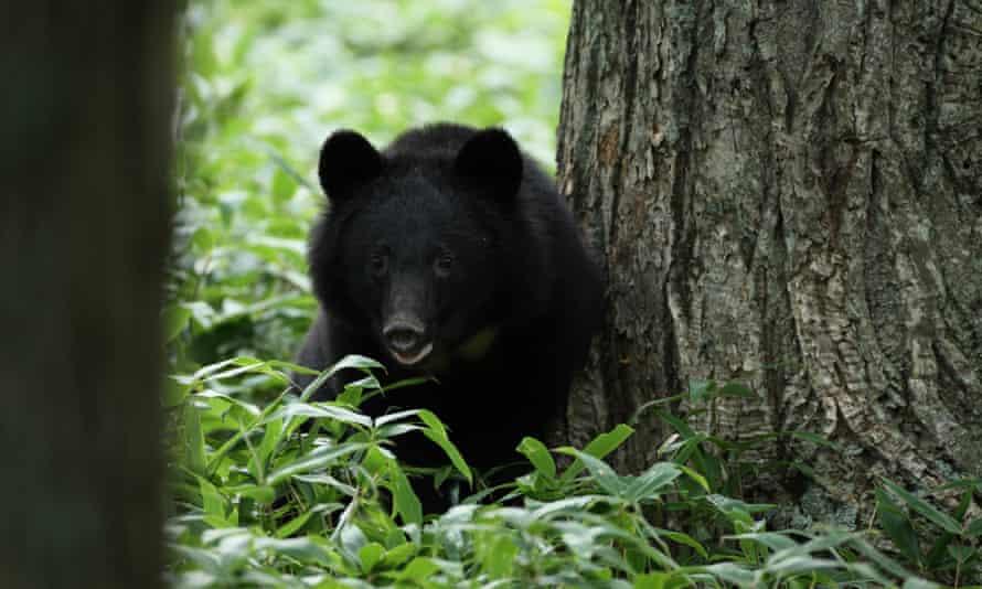 A black bear in Iwate prefecture, northern Japan.